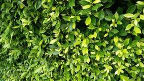 Зеленый цвет выходит предпосылка, листья дерева, листья текстуры дерева Стоковые Изображения