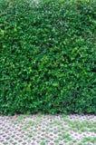 Зеленый цвет выходит предпосылка стены и путь прогулки Стоковая Фотография RF