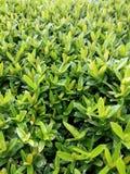 Зеленый цвет выходит предпосылка текстуры Стоковая Фотография