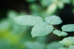 Зеленый цвет выходит розы с росой Стоковое фото RF