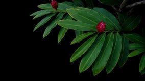 Зеленый цвет выходит с красным цветенем цветка purpur Alpinia красного имбиря Стоковые Изображения