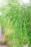 зеленый цвет выходит тропической против предпосылки голубые облака field wispy неба природы зеленого цвета травы белое Селективны Стоковые Изображения RF