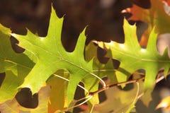 зеленый цвет выходит дуб Стоковая Фотография RF