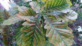 зеленый цвет выходит дуб стоковое фото