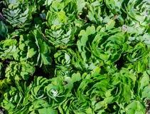 Зеленый цвет выходит columbines Aquilegia текстуры предпосылки Стоковое фото RF