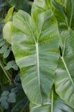 зеленый цвет выходит philodendron Стоковая Фотография RF