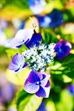 Зеленый цвет гортензии фиолетовый в саде Стоковые Фотографии RF