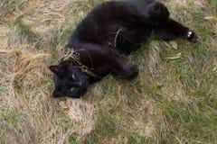 зеленый цвет глаз черного кота Стоковое Изображение RF