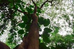 Зеленый цвет дерева предпосылки, древесина Стоковое Изображение RF