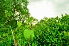 Зеленый цвет дерева предпосылки, древесина Стоковые Изображения RF
