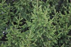 Зеленый цвет ели ветвей предпосылки текстуры Стоковая Фотография RF