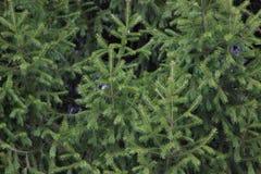 Зеленый цвет ели ветвей предпосылки текстуры Стоковое фото RF