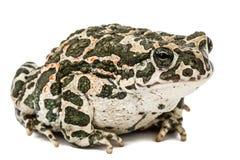 Зеленый цвет жабы, lat Viridis Bufo, изолированные на белой предпосылке Стоковые Фото