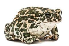 Зеленый цвет жабы, lat Viridis Bufo, изолированные на белой предпосылке Стоковая Фотография RF