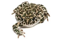Зеленый цвет жабы, lat Viridis Bufo, изолированные на белой предпосылке Стоковое Изображение