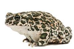 Зеленый цвет жабы, lat Viridis Bufo, изолированные на белой предпосылке Стоковые Изображения RF