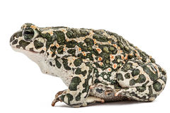 Зеленый цвет жабы, lat Viridis Bufo, изолированные на белой предпосылке Стоковое Изображение RF