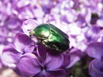 зеленый цвет жук-чефера поднял Стоковые Фотографии RF