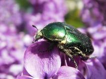 зеленый цвет жук-чефера поднял Стоковые Фото