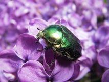 зеленый цвет жук-чефера поднял Стоковое Фото