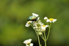 зеленый цвет жук-чефера поднял (Aurata Cetonia) Стоковые Фото