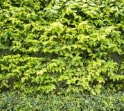 Зеленый цвет изгороди выходит текстура, предпосылка Стоковое Фото