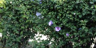 Зеленый цвет изгороди с цветками Стоковые Фотографии RF