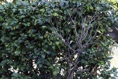 Зеленый цвет изгороди Стоковые Фотографии RF