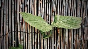 зеленый цвет имеет верхнюю часть 2 москита листьев листьев Стоковое Изображение RF