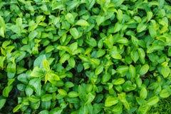 Зеленый цвет листает текстура природы Стоковое Изображение RF
