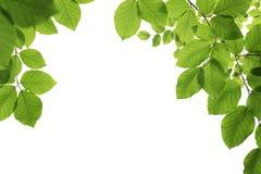 Зеленый цвет, листья весны изолированные на белизне Стоковое фото RF