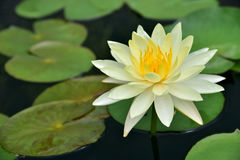 Зеленый цвет лист лотоса Стоковые Фото