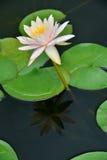 Зеленый цвет лист лотоса Стоковые Фотографии RF
