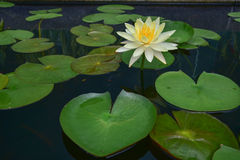 Зеленый цвет лист лотоса Стоковое Фото