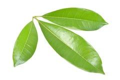 Зеленый цвет лист Стоковые Изображения