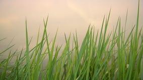 Зеленый цвет и вода травы сток-видео