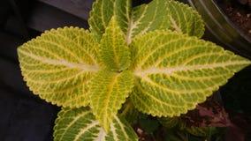 Зеленый цвет и желтый цвет Coleus стоковые изображения rf