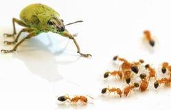 Зеленый цвет и муравьи насекомого на белизне Стоковая Фотография