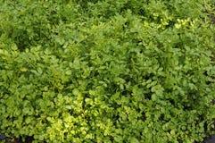 Зеленый цвет и лягушки Стоковые Изображения RF