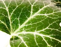 Зеленый цвет картины текстуры лист дерева березы вверх закрывает с Д-р росы воды Стоковые Фотографии RF