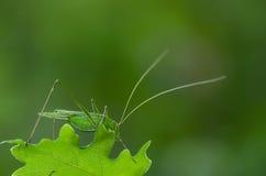 Зеленый цвет кузнечика Стоковая Фотография
