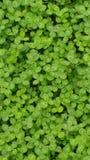 зеленый цвет клевера стоковые изображения