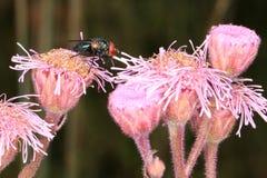 зеленый цвет мухы Стоковые Фотографии RF