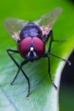 зеленый цвет мухы Стоковое Изображение