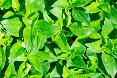 Зеленый цвет мыльнянки лекарственной (officinalis мыльнянки) выходит предпосылка Стоковое Фото