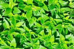 Зеленый цвет мыльнянки лекарственной (officinalis мыльнянки) выходит предпосылка Стоковое Изображение RF