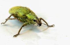 Зеленый цвет насекомого на белом поле Стоковые Изображения