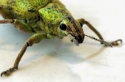 Зеленый цвет насекомого на белом поле Стоковые Фотографии RF