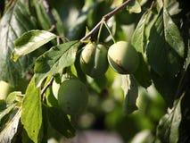Зеленый цвет нет пока зрелых слив, плодоовощей, как оливки, среди зеленых листьев на ветви дерева Стоковое Фото