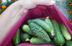 зеленый цвет огурцов свежий Стоковые Изображения